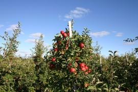 apple-75112_640
