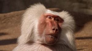 baboon-174073_640