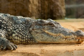 nile-crocodile-245013_640